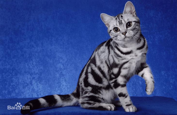 北美洲短毛猫