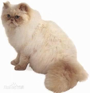 重点色长毛猫