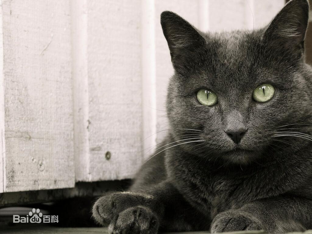阿契安吉蓝猫